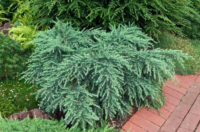 Cedrus deodara 'Feelin' Blue', Himalayan Cedar 'Feelin' Blue', Deodar Cedar 'Feelin' Blue', Conifer, Evergreen Tree, Blue Conifer, Dwarf Conifer