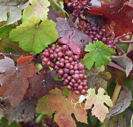 Vitis Vinifera 'Purpurea', Grape Vine 'Purpurea', Teinturier Grape, Grape Vines, Fall color, Purple foliage, Purple leaves, Purple-Leaf Grape Vine