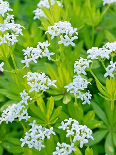 Galium Odoratum, Sweet Woodruff, Hay Plant, Kiss-Me-Quick, Mugwet, Rockweed, Sweet Grass, Woodruff, White flowers, Perennial for shade, perennials for shade, shade perennial, Asperula Odorata