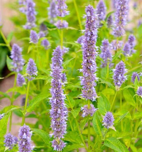 Agastache Blue Fortune, Anise Hyssop 'Blue Fortune', Giant Hyssop 'Blue Fortune', Agastache Aurantiaca 'Blue Fortune', blue flowers, violet flowers