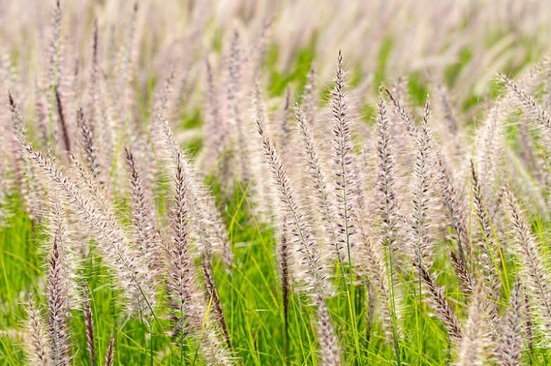 Pennisetum Setaceum, Purple Fountain Grass, African Fountain Grass, Fountain Grass, Ruby Grass, Pennisetum rueppellii