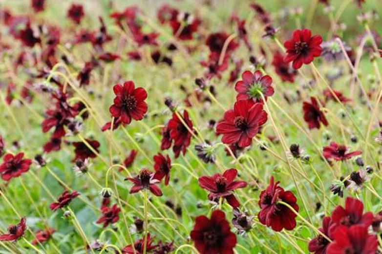 Cosmos Atrosanguineus,Chocolate Cosmos, Black Cosmos, Black Dahlia, Chocolate Plant, Maroon Flowers, Chocolate Flowers, Dark Flowers