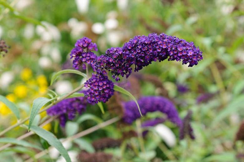 Buddleja davidii 'Black Knight', Butterfly Bush 'Black Knight', Summer Lilac 'Black Knight', deciduous shrub, purple flowers, fragrant shrub