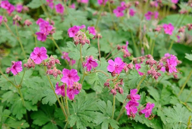 Geranium Macrorrhizum 'Czakor', Geranium 'Czakor', Cranesbill 'Czakor', Hardy Geranium 'Czakor', Rock Geranium 'Czakor', Best geraniums, Best groundcovers