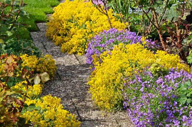 Rock Cress, False Rockcress, Lilacbush, Rainbow Rockcress, Alyssum Deltoideum, Rock Garden Plant, Rock Garden Perennial, Easy Care Perennial, Purple Flowers, Flower Carpets