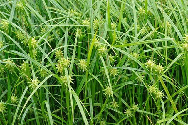 Carex Grayi, Mace Sedge, Gray Sedge, Morning Star Sedge, Bur Sedge, Gray's Bur Sedge, Gray's Sedge, Ornamental grasses, Ornamental grass, Decorative grasses, grasses, perennial grasses