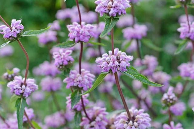 Phlomis Tuberosa, Jerusalem Sage, Drought resistant perennials, Pink perennials, Lavender perennials