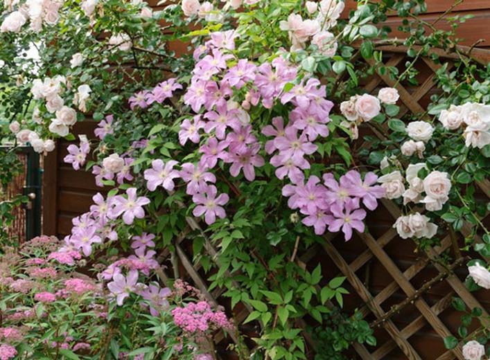 Clematis 'Comtesse de Bouchaud', Large-Flowered Clematis, group 3 clematis, pink clematis, Clematis Vine, Clematis Plant, Flower Vines, Clematis Flower, Clematis Pruning