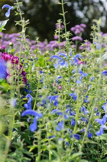 Salvia Patens, Gentian Sage, Spreading Sage, Blue-flowered Sage, Salvia Patens Dark Blue, Salvia Patens 'Oxford Blue', Blue flowers