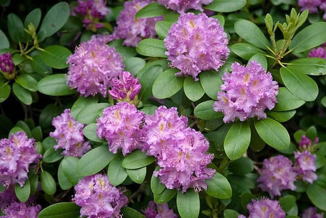 Rhododendron 'Roseum Elegans','Roseum Elegans' Rhododendron, Rhododendron catawbiense 'Roseum Elegans', Late Midseason Azalea,, Purple Azalea, Purple Rhododendron, Purple Flowering Shrub