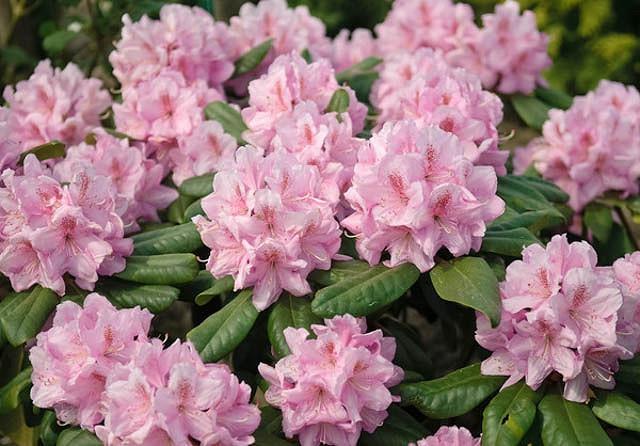 Rhododendron 'Scintillation','Scintillation' Rhododendron, 'Scintillation' Azalea, Evergreen Azalea, Midseason Azalea, Pink Azalea, Pink Rhododendron, Pink Flowering Shrub, Pink Evergreen Shrub