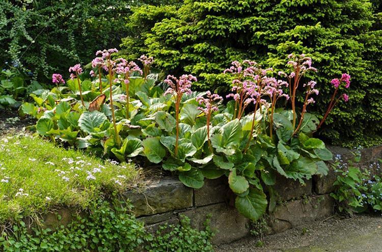Bergenia Cordifolia, Heartleaf Bergenia, Heart-Leaf Bergenia, Pink Bergenia, Evergreen Perennial, Shade Perennial