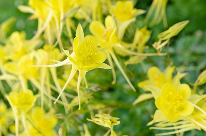 Aquilegia Chrysantha 'Yellow Queen', Golden Columbine 'Yellow Queen', Golden Columbine, Aquilegia Chrysantha, Columbine 'Yellow Queen', Granny's Bonnet 'Yellow Queen', Yellow Aquilegia, Yellow Columbine