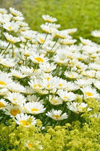 Anthemis Tinctoria 'Sauce Hollandaise', Golden Marguerite 'Sauce Hollandaise', Golden Chamomile 'Sauce Hollandaise', Oxeye Chamomile 'Sauce Hollandaise', Dyer's Chamomile 'Sauce Hollandaise', Drought tolerant perennials, Yellow perennial flowers,