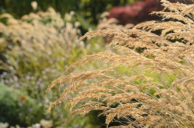 Stipa Calamagrostis, Achnatherum calamagrostis, Rough Feather Grass, Spear Grass, Needle Grass, Silver Spike Grass, Pheasant Tail Grass