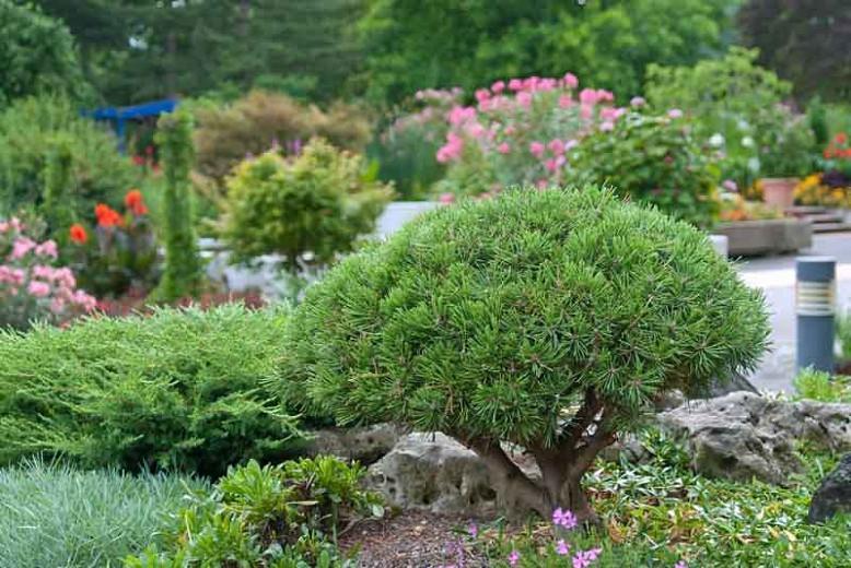 Pinus mugo 'Mops', Dwarf Mountain Pine 'Mops', Dwarf Pine 'Mops', Drooping Cone Pine 'Mops', Mountain Pine 'Mops', Swiss Mountain Pine 'Mops', Pinus mugo 'Mops', Evergreen Conifer, Evergreen Shrub