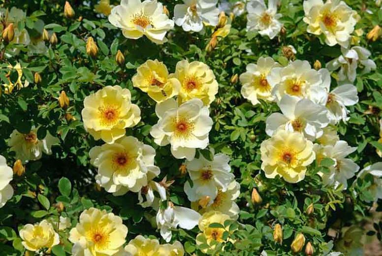 Rose Fruhlingsgold, Rosa 'Fruhlingsgold', Rosa 'Frühlingsgold',  Rose 'Spring Gold', Hybrid Spinosissima Shrubs, Yellow roses, shrub roses, Rose Bushes, Garden Roses, very fragrant roses, Favorite roses