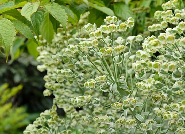 Euphorbia characias 'Glacier Blue', Spurge 'Glacier Blue', 'Glacier Blue' Spurge, Variegated Spurge, Variegated Euphorbia