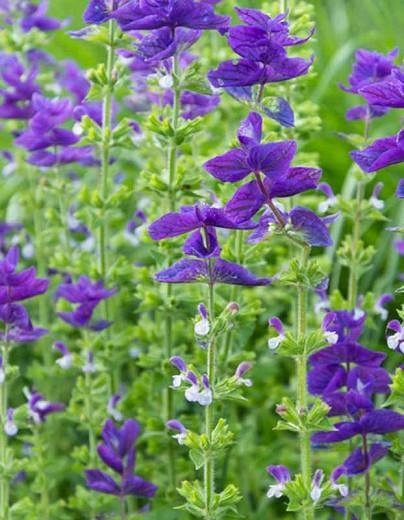 Salvia Horminum 'Blue Monday', Annual Sage 'Blue Monday' , Salvia Viridis 'Blue Monday', Annual Clary 'Blue Monday'