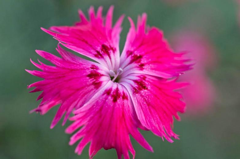 Dianthus Gratianopolitanus, Cheddar Pink, Cliff Pink, Clove Pink, Mountain Pink, Sweet Pink, Perennial Dianthus,Dianthus Caesius