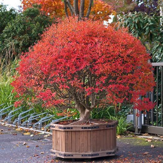 Enkianthus Campanulatus, Redvein Enkianthus, Furin-Tsutsuji, deciduous shrub