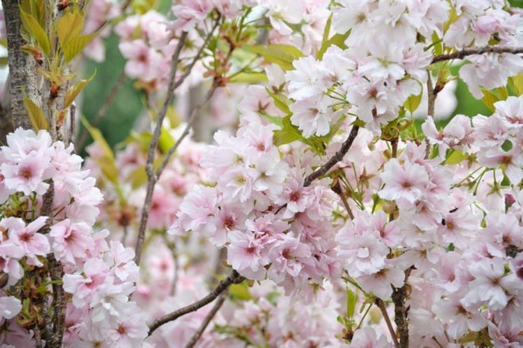 Prunus 'Amanogawa',Prunus serrulata 'Amanogawa', Flowering Cherry 'Amanogawa',Japanese Flowering Cherry 'Amanogawa', Cherry 'Amanogawa', Prunus 'Erecta', White flowers, Spring Flowers, Blossom Tree, Cherry blossom tree, Ornamental Cherry
