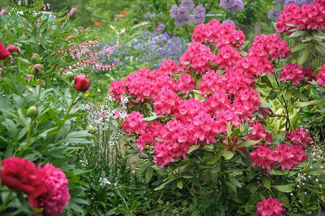 Rhododendron 'Nova Zembla','Nova Zembla' Rhododendron, Evergreen Rhododendron, Midseason Rhododendron, Pink Azalea, Pink Rhododendron, Pink Flowering Shrub, Pink Evergreen Shrub