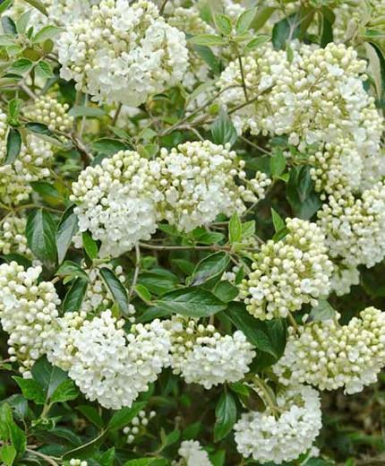 Viburnum 'Eskimo', Eskimo Viburnum, Evergreen Shrub, Fragrant Shrub, Shrub with fall color, White flowers, Red berries