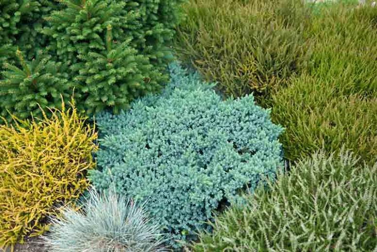 Juniperus squamata 'Blue Star', Flaky Juniper 'Blue Star', Singleseed Juniper 'Blue Star', Evergreen Shrub, Dwarf evergreen shrub, Blue shrub