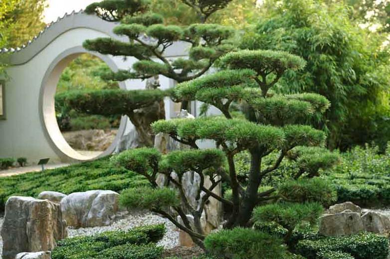 Pinus mugo 'Gnom', Dwarf Mountain Pine 'Gnom', Dwarf Pine 'Gnom', Drooping Cone Pine 'Gnom', Mountain Pine 'Gnom', Swiss Mountain Pine 'Gnom', Evergreen Conifer, Evergreen Shrub, Dwarf Conifer