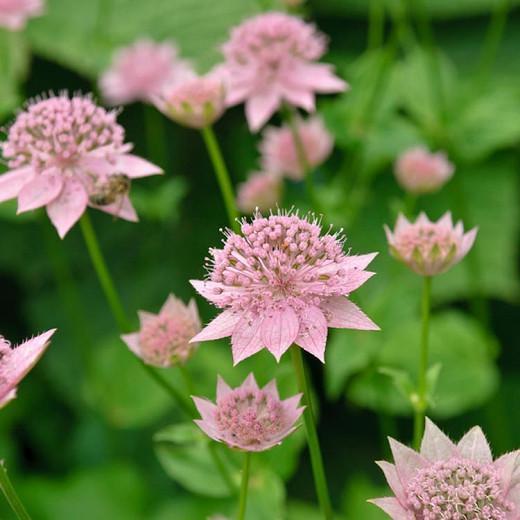 Astrantia Maxima, Largest Masterwort, summer perennial, pink flowers, shade perennials, wet soil perennials