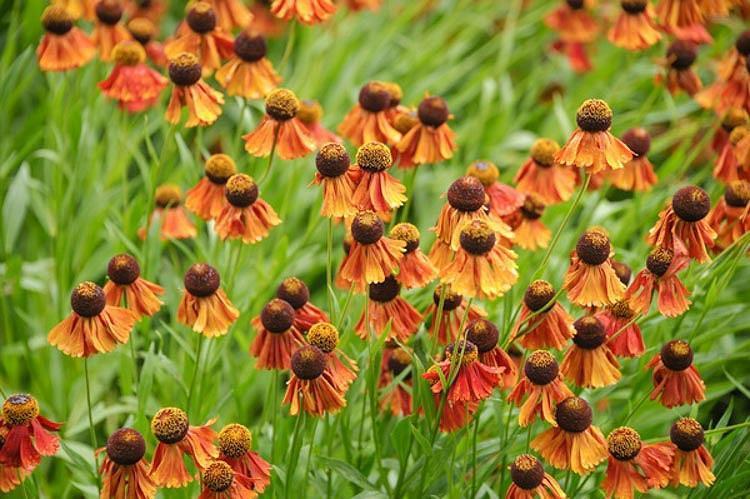 Helenium Flammenrad, Sneezeweed Flammenrad, Helenium Autumnale, Common Sneezeweed Flammenrad, False Sunflower Flammenrad, Helen's Flower Flammenrad, Orange Helenium