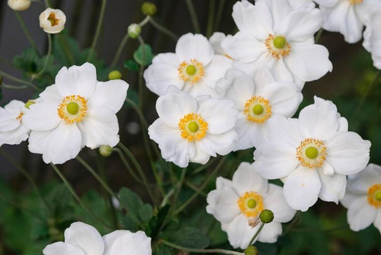 Anemone Honorine Jobert, Anemone x Hybrida 'Honorine Jobert', Japanese Anemone 'Honorine Jobert', Windflower 'Honorine Jobert', Anemone x Hybrida 'Alba', Late summer perennial, White flowers