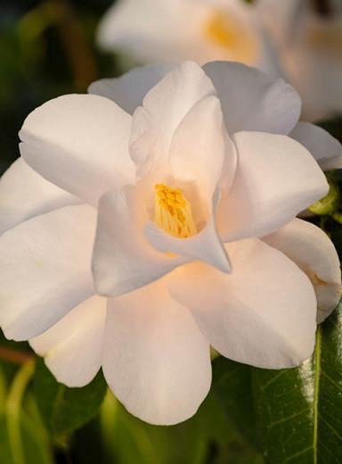 Camellia Japonica 'Hagoromo', 'Hagoromo' Camellia, Camellia 'Magnoliiflora', Camellia 'Rose of Dawn', Camellia 'Feathered Robe', Camelia 'Angel's Robe', Winter Blooming Camellias, Spring Blooming Camellias, Early to Late Season Camellias, White flowers, White Camellias