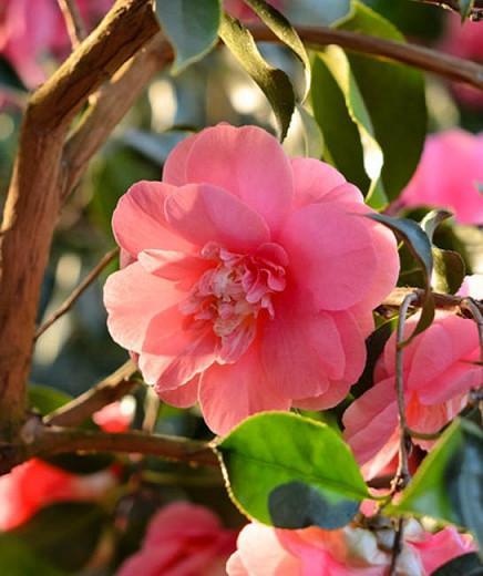 Camellia Japonica 'Elegans', Camellia 'Elegans', 'Elegans' Camellia, Camellia japonica 'Chandleri Elegans', Camellia japonica 'Chandleri Rubra', Camellia japonica 'Red Elegans', Camellia japonica 'Rosea Chandleri', Fall Blooming Camellias, Winter Blooming Camellias, Spring Blooming Camellias, Early to Mid Season Camellias, Red flowers, Red Camellias