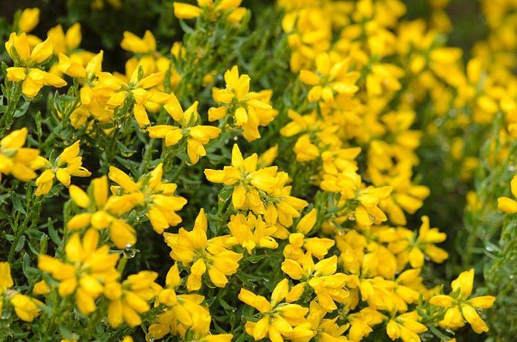 Genista Hispanica, Spanish Broom, Spanish Gorse, Spanish Furze, Mediterranean plants, Mediterranean shrubs, Yellow flowers