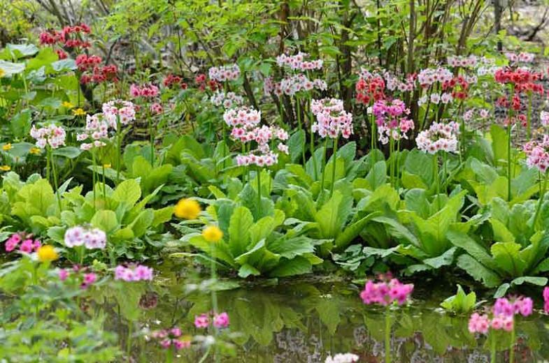 Primula Japonica, Primrose, Japanese Primrose, Candelabra Primrose, Candelabra Primula, Fairy Primrose, Shade plants, shade perennial, plants for shade, plants for wet soils