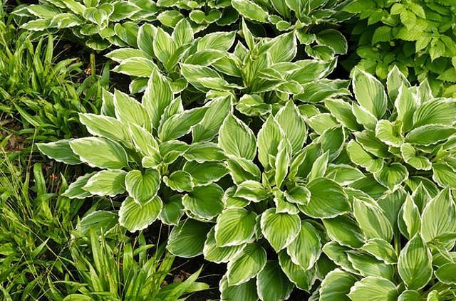 Hosta Crispula,Curled Plantain Lily, Curled Hosta, Hosta 'Sazanami', Hosta 'Marginata Alba', variegated hosta, shade plant, shade perennial