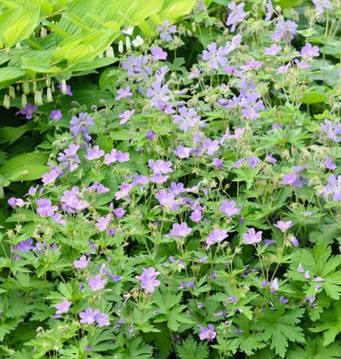Geranium sylvaticum 'Birch Lilac', Wood Cranesbill 'Birch Lilac', Woodland Geranium, Best geraniums, Best groundcovers, Purple Geranium, Purple Cranesbill, Lilac Geranium, Lilac Cranesbill