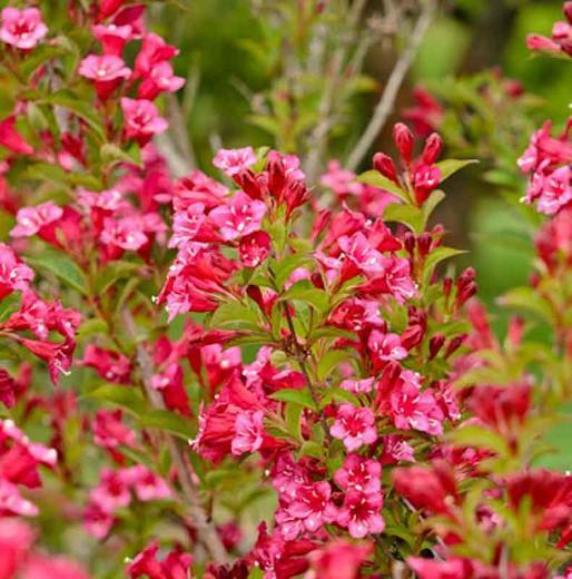 Weigela florida 'Bristol Ruby', Bristol Ruby Weigela, Flowering Shrub, Flowers, Pink Flowers, Red Flowers