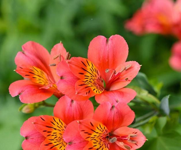 Alstroemeria 'Mars', Peruvian Lily 'Mars', Lily of the Inca 'Mars', Parrot Lily 'Mars', Red Lily, Red Peruvian Lily, Red Alstroemeria, Lily flower, Lily Flower