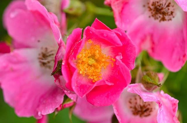 Rose 'American Pillar', Rosa 'American Pillar', Rambling Rose 'American Pillar', Rambler Roses, Climbing Roses, Shrub roses, pink roses, Rose bushes, Garden Roses