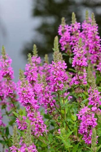 Lythrum Salicaria, Purple Loosetrife, Purple flowers, Pink flowers