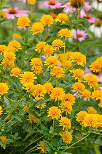 Heliopsis Helianthoides 'Asahi', False Sunflower 'Asahi', Sunflower Heliopsis  'Asahi', Oxeye Sunflower  'Asahi', Heliopsis Asahi