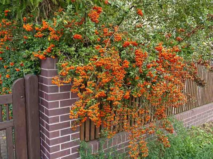 Pyracantha coccinea, Scarlet Firethorn, Egyptian Thorn, Everlasting Thorn, Fire Bush, Evergreen Shrubs, White flowers, Orange Fruits, Red Fruits, drought tolerant flowers, Flowering Shrub
