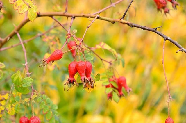 Rosa Moyesii, Rosa Geranium, Rose geranium, Rose Nevada, Rosa Nevada, David austin rose, Mandarin Rose, Moyes Rose, Moyesii Hybrids, Wild Roses, Shrub roses, pink roses, Climbing Roses, fragrant roses