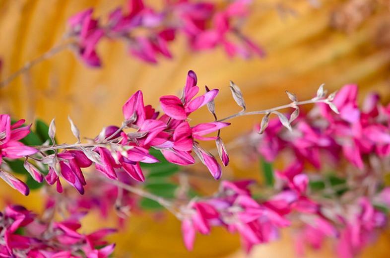 Lespedeza thunbergii,Bush Clover, Thunberg Lespedeza, Thunberg Bush Clover , deciduous shrub, pink flowers, purple flowers, flowering shrub