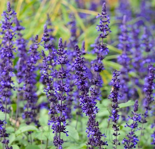 Salvia Mystic Spires, Mystic Spires Blue Sage, Mystic Spires salvia, Blue perennial, Salvia longispicata X farinacea