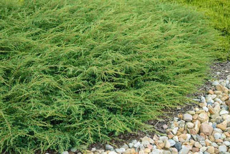 Juniperus communis 'Repanda', Common Juniper 'Repanda', Juniper 'Repanda', Evergreen Shrub, Evergreen Tree