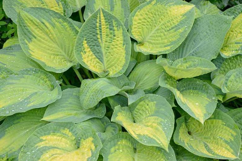 Hosta Paul's Glory, Variegated Plantain lily, Plantain Lily 'Paul's Glory', Shade perennials, Plants for shade